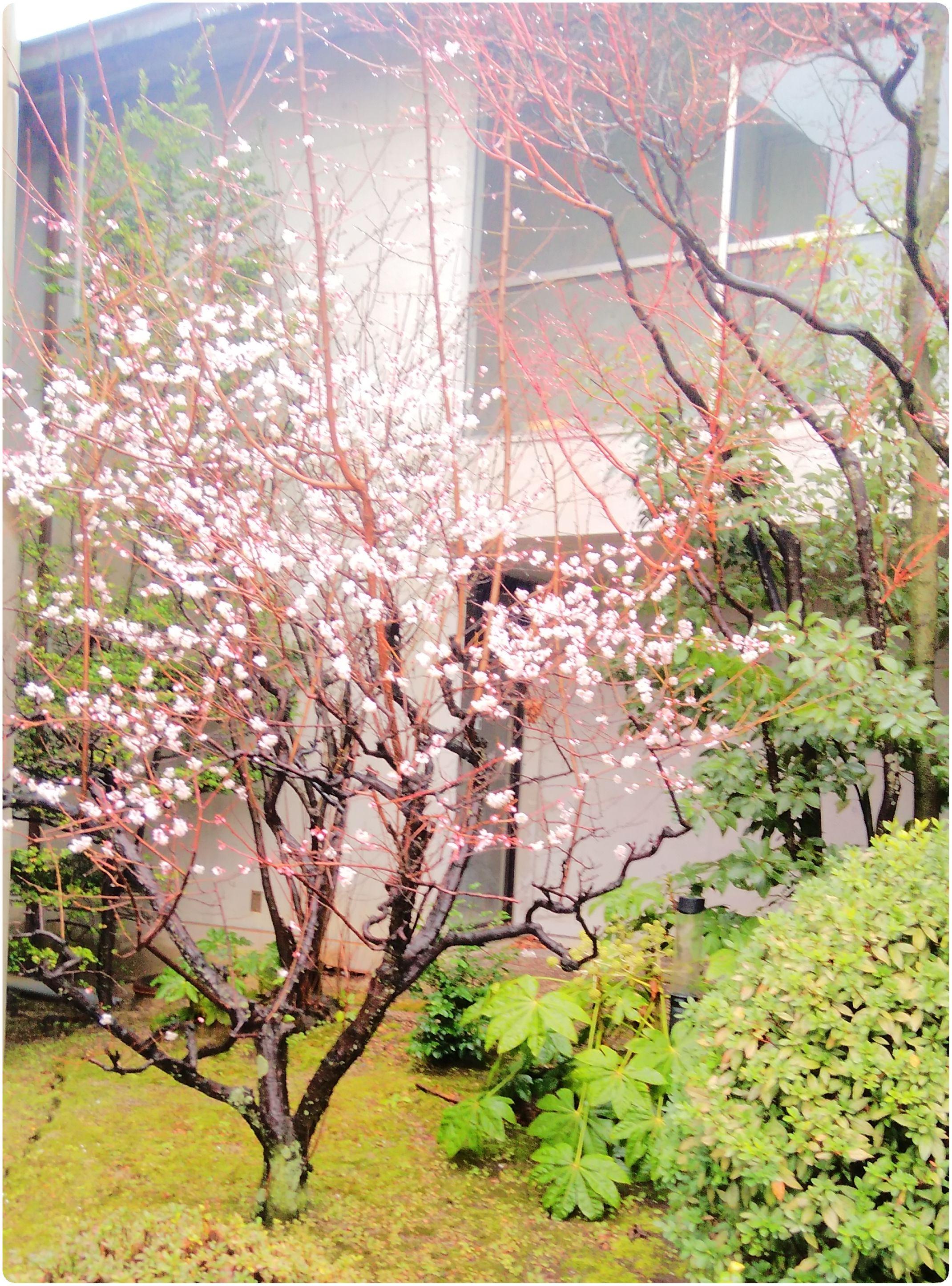 梅の花だより