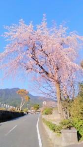 苑内の枝垂れ桜