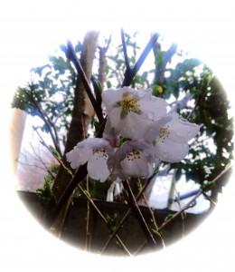 桜情報 2018年3月