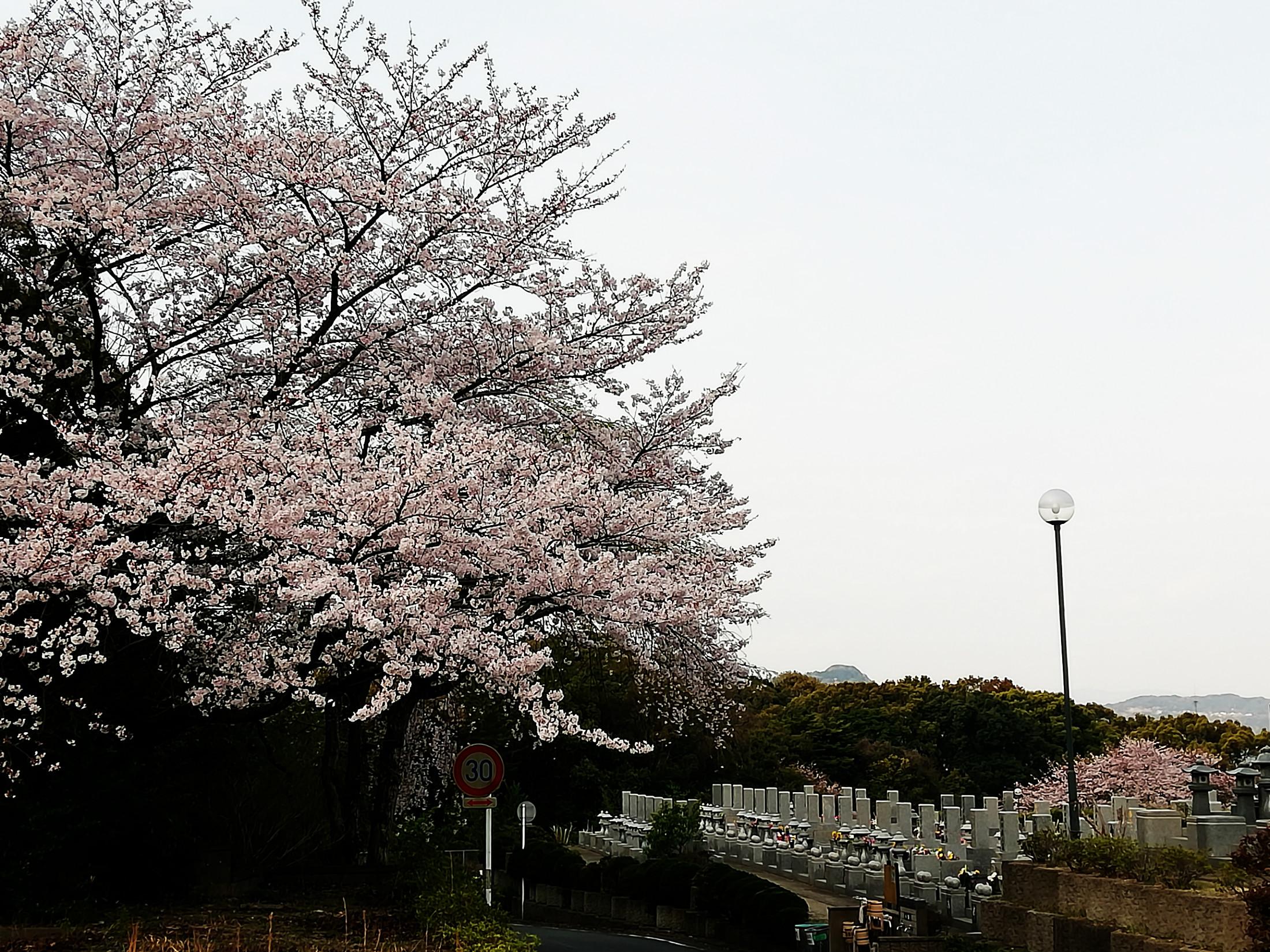 桜 博多霊苑