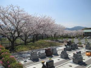 博多霊苑 桜開花